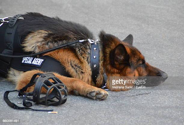 german shepherd relaxing on road - police dog stock photos and pictures