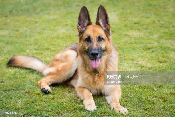 german shepherd resting on grass - cão pastor alemão - fotografias e filmes do acervo