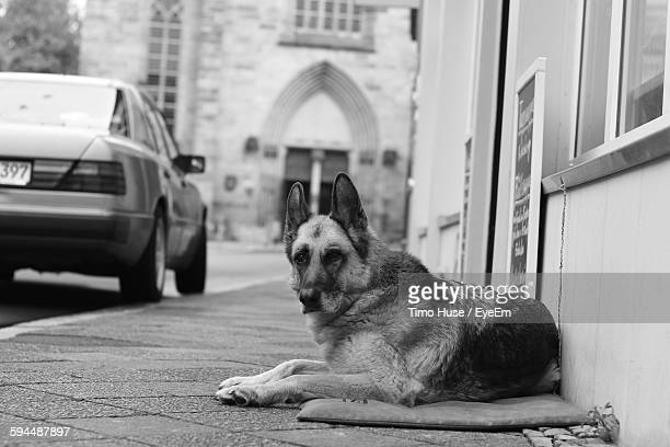 German Shepherd Resting On Sidewalk