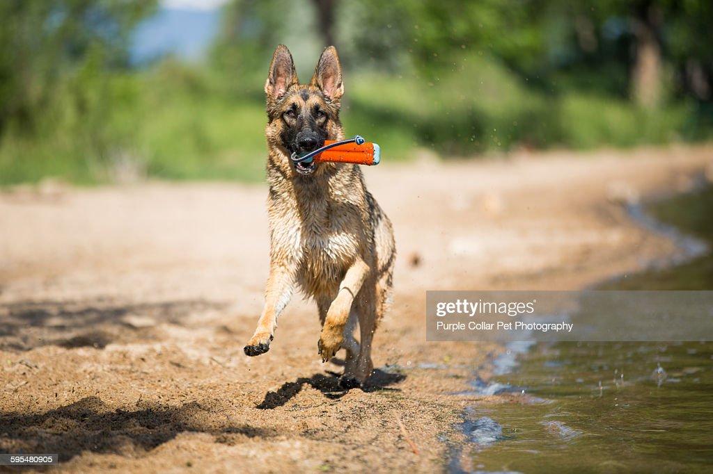 German Shepherd Running on Beach with Toy : Stock Photo