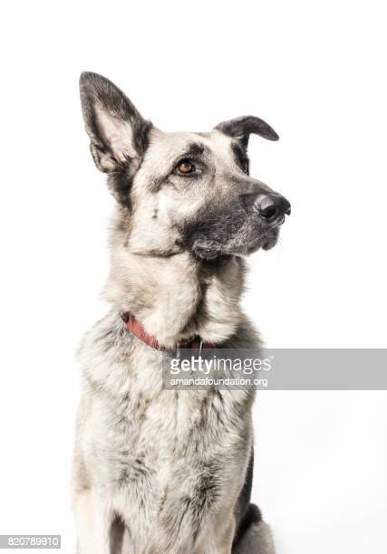 german shepherd - the amanda collection - amandafoundationcollection stock pictures, royalty-free photos & images