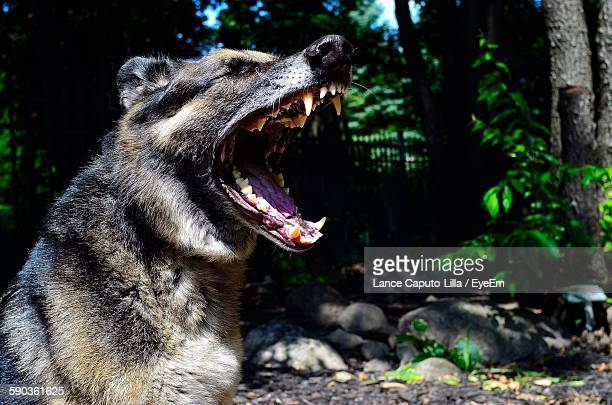 German Shepherd Yawning In Park