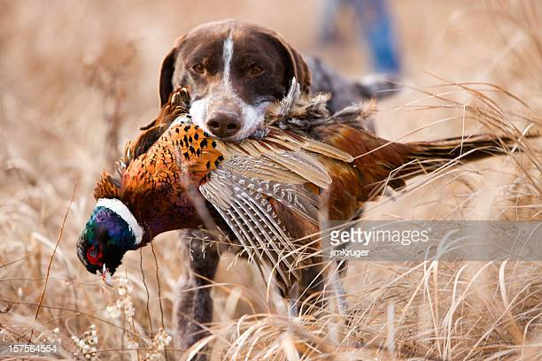 german short hair bird dog with pheasant. - hunting sport stock pictures, royalty-free photos & images
