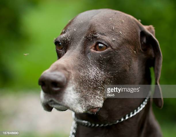 german short haired pointer dog covered in mosquitos - german shorthaired pointer stock pictures, royalty-free photos & images
