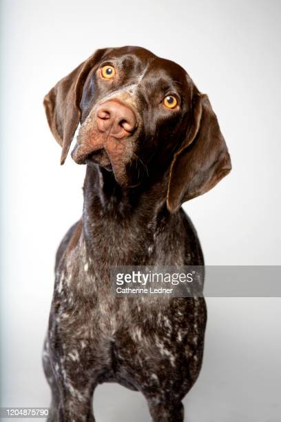 german short haired pointer looking longingly at camera in studio - german short haired pointer stock pictures, royalty-free photos & images