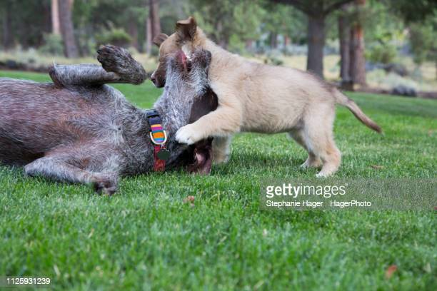 german short haired terrier and mixed breed puppy playing and wrestling on the lawn of a yard - mixed wrestling stock-fotos und bilder