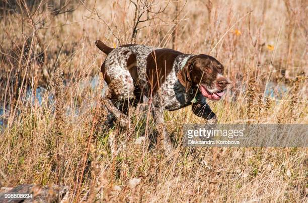 german shorthair pointer during a hunt on a sunny fall day. - german shorthaired pointer stock pictures, royalty-free photos & images