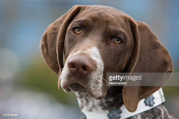 german shorthair pointer with building in background - german shorthaired pointer stock pictures, royalty-free photos & images