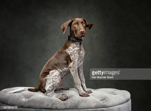 german shorthaired pointer dog 1 - animal body part stock pictures, royalty-free photos & images