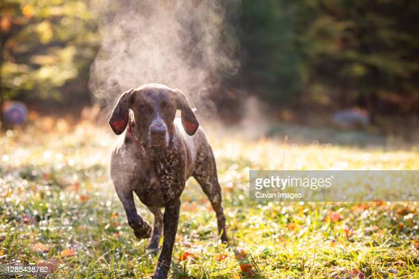 german shorthaired pointer hunting with steam rising on cold morning - pointer dog stock pictures, royalty-free photos & images