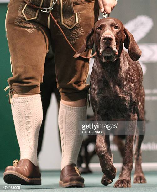 A German shorthaired pointer is pictured at the Hohe Jagd hunting fair on February 23 2014 in Salzburg Austria AFP PHOTO / DIETER NAGL