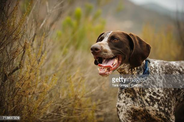 german short-haired pointer looking away - german shorthaired pointer stock pictures, royalty-free photos & images
