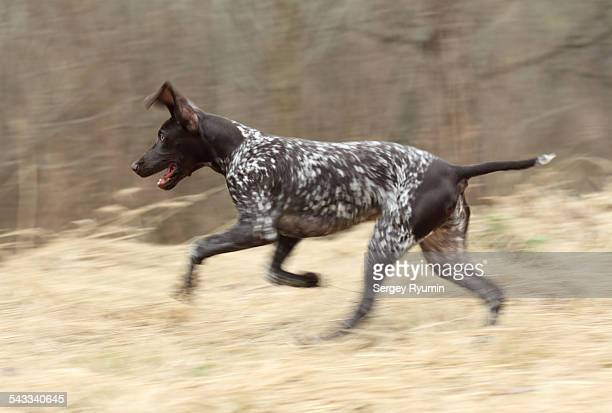 german shorthaired pointer on the run - german shorthaired pointer stock pictures, royalty-free photos & images