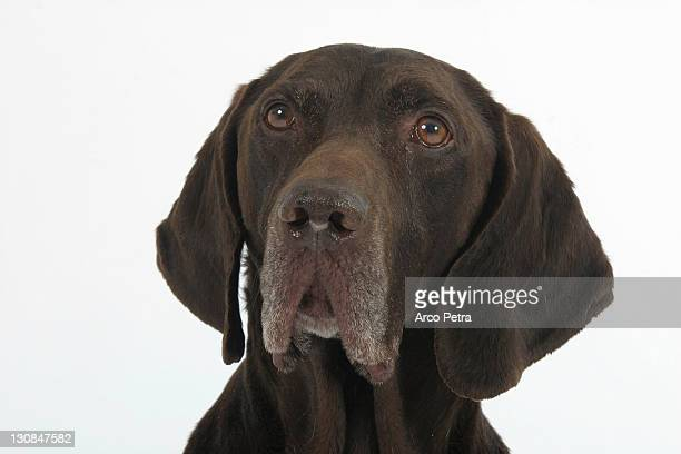 german shorthaired pointer - german short haired pointer stock pictures, royalty-free photos & images