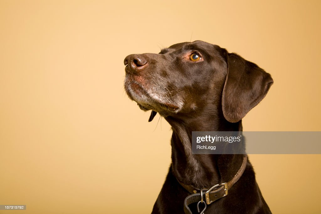 German Shorthaired Pointer : Stock Photo