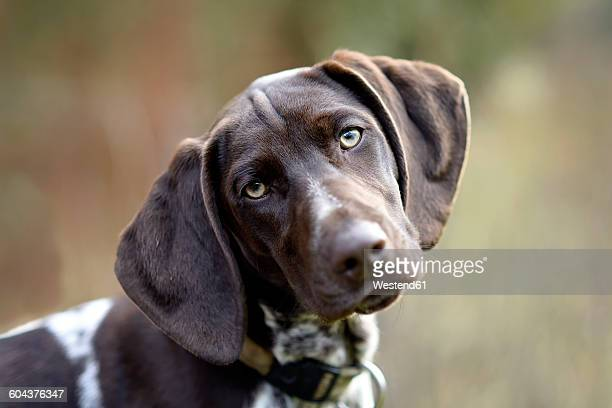 german shorthaired pointer - german shorthaired pointer stock pictures, royalty-free photos & images