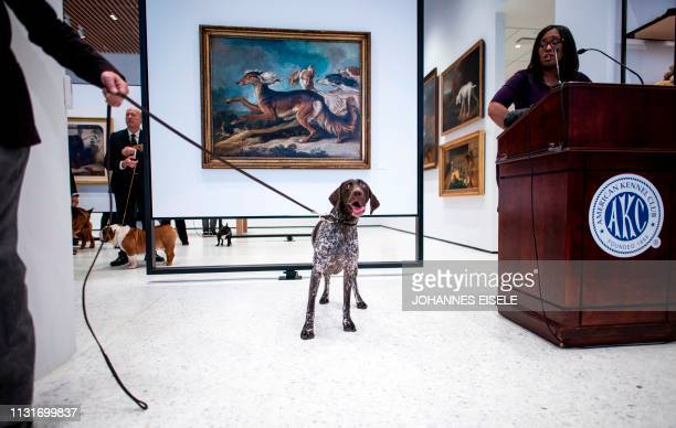 German Shorthaired Pointer poses at the American Kennel Club's Museum of the Dog during the announcement of the most popular breed on March 20, 2019...