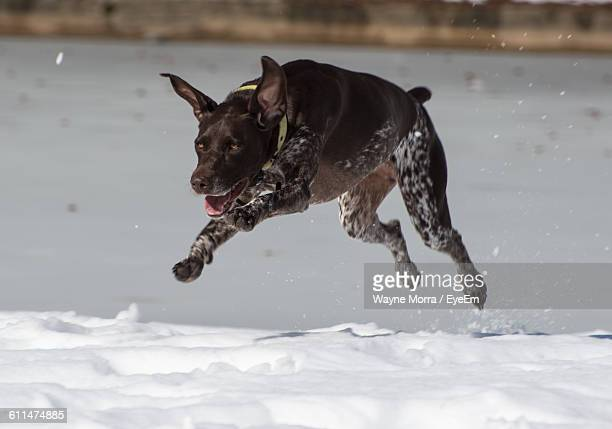 german short-haired pointer running on snow covered field - german shorthaired pointer stock pictures, royalty-free photos & images