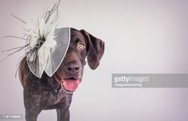 german short-haired pointer wearing a fascinator hat - fascinator stock pictures, royalty-free photos & images