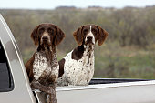 German Shorthaired Pointers Hunting Bird Dogs in Pick-Up Brown Liver