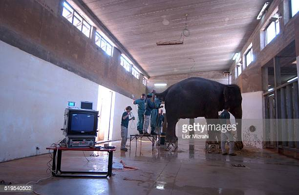 A German team from the IZW The Institute of Zoo Wildlife Research in Berlin make an ultrasound examination of Tamar a pregnant elephant at...