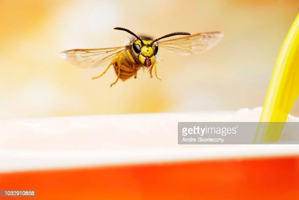 German wasp (Vespula germanica), in flight, at a yogurt mug, Germany