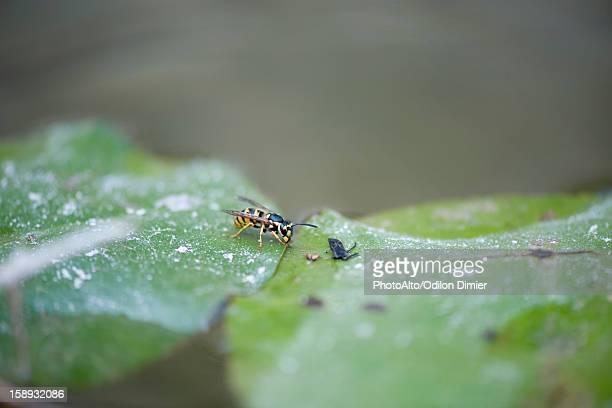 German wasp (Vespula germanica) on leaf