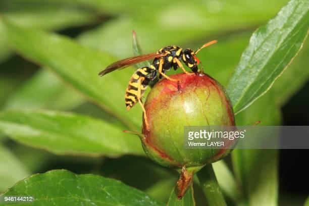 German wasp Paravespula germanica