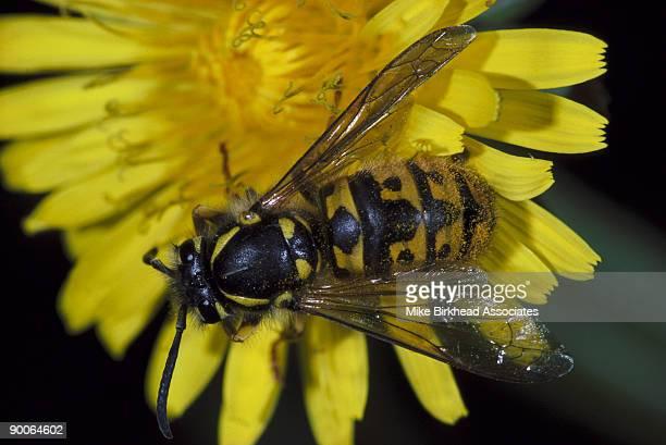 german wasp vespula germanica uk