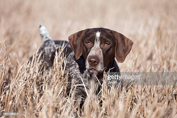 german wirehair pointer upland bird hunting in midwest. - hunting dog stock pictures, royalty-free photos & images