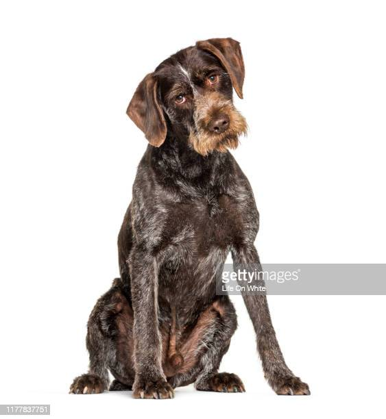 german wirehaired pointer also know as drahthaar sitting against white background - pointer dog stock pictures, royalty-free photos & images