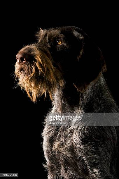 german wirehaired pointer - pointer dog stock pictures, royalty-free photos & images