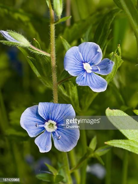 germander speedwell (veronica chamaedrys) - sainte veronique photos et images de collection