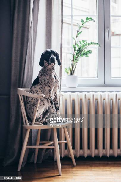 germanshort haired pointer on a wooden chair - german short haired pointer stock pictures, royalty-free photos & images