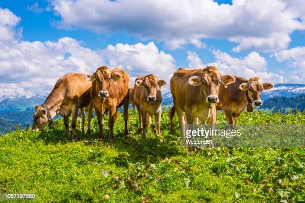 germany, allgaeu, herd of dehorned brown cattles standing on an alpine meadow - viehweide stock-fotos und bilder