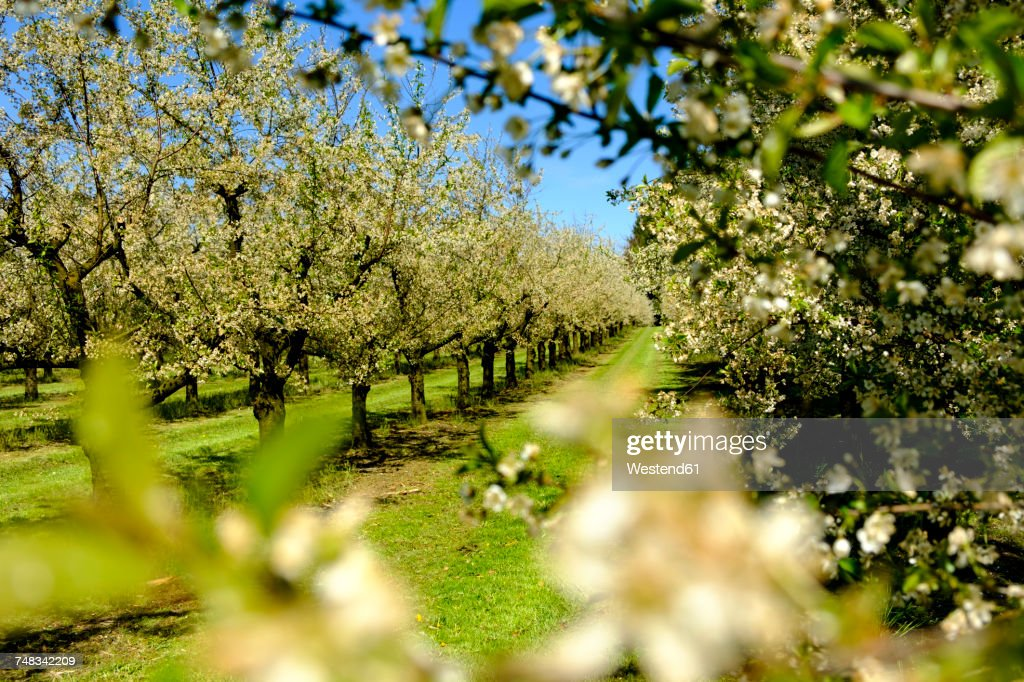 Germany, Allgaeu, Oberreitnau, Cherry blossom in orchard : Stock Photo