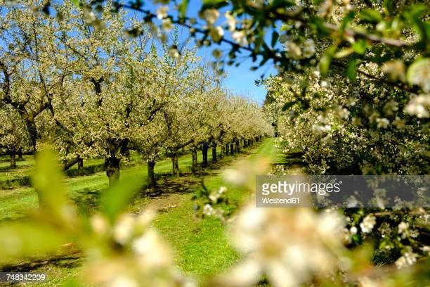 Germany, Allgaeu, Oberreitnau, Cherry blossom in orchard