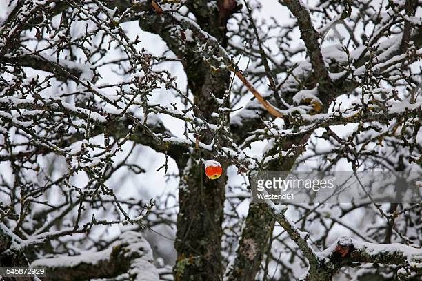 Germany, apple hanging on apple tree in winter