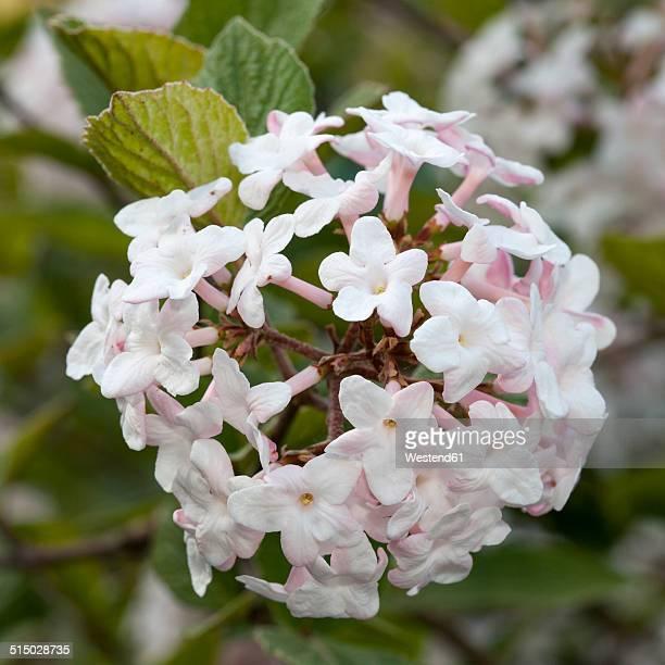 Germany, Arrowwood, Viburnum carlesii