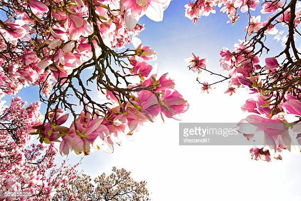 Germany, Aschaffenburg, blooming Magnolia trees