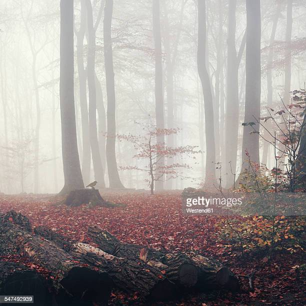 Germany, autumn forest in the fog