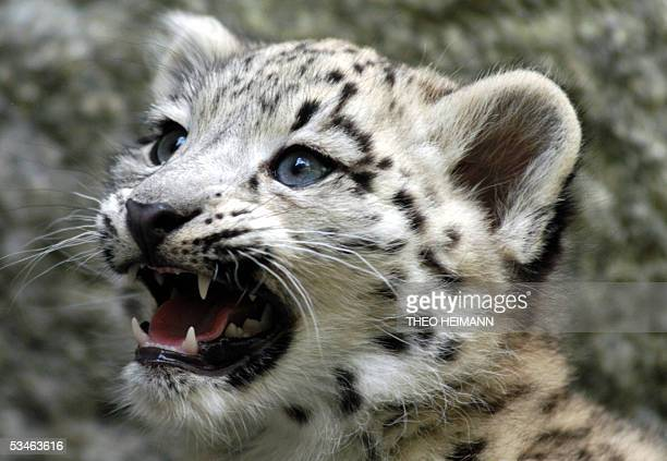 Baby snow leopard Kashi 2 monthsold exploreS her cage at the Berlin Zoo 26 August 2005 AFP PHOTO DDP/THEO HEIMANN GERMANY OUT