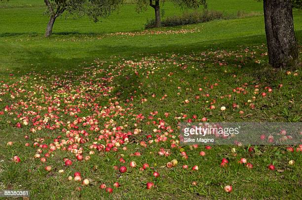 Germany, Baden-Wuerttemberg, Trees surrounded by fallen apples in orchard