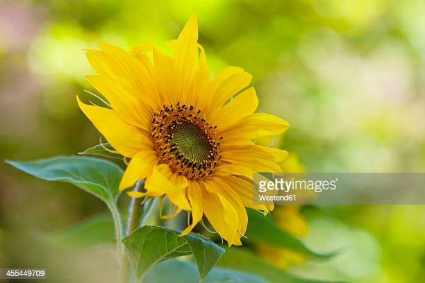 Germany, Baden Wuerttemberg, Annual sunflower, close up