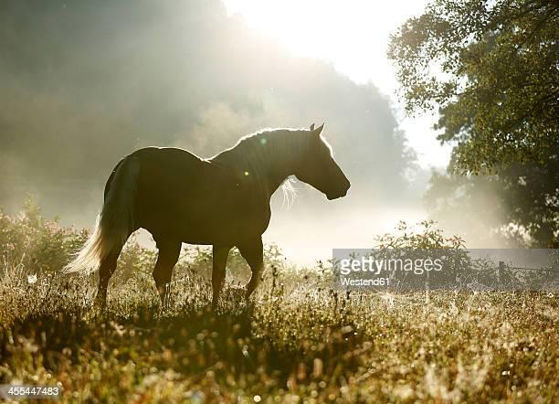 Germany, Baden Wuerttemberg, Black forest horse walking on grass