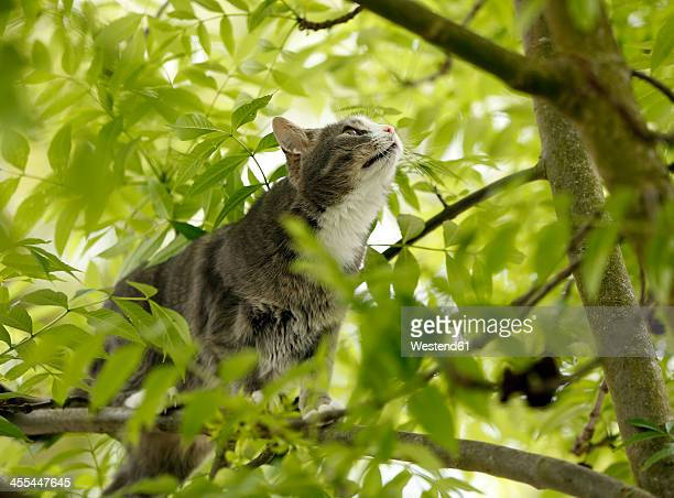 Germany, Baden Wuerttemberg, Cat climbing on branch, close up