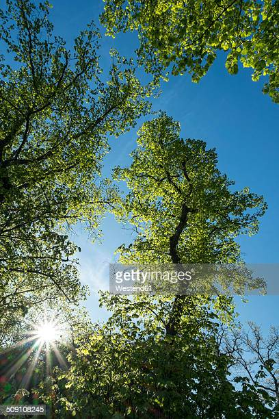Germany, Baden Wuerttemberg, Constance district, Old Linden Trees, Tilia
