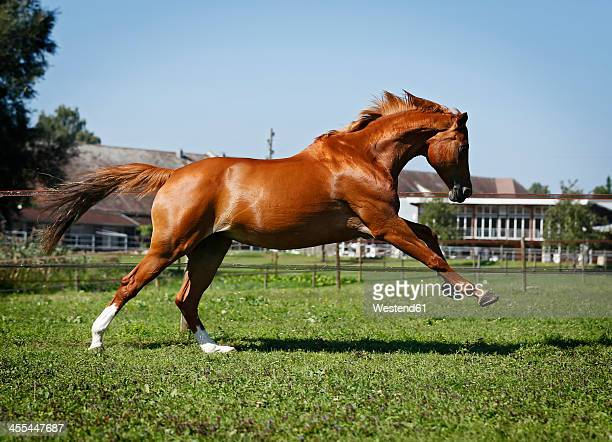 Germany, Baden Wuerttemberg, Constance, View of Trakehner mare bucking in meadow