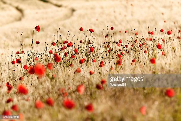 Germany, Baden Wuerttemberg, Field with red poppies