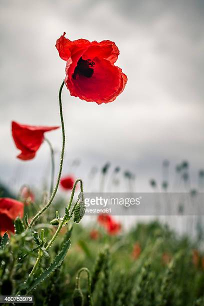 Germany, Baden Wuerttemberg, Red poppy in field